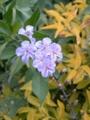 [紫]タイワンレンギョウ