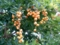 タイワンレンギョウ