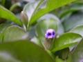 [白][紫]ニオイバンマツリ