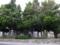フクギ並木