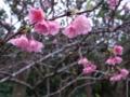垣花城跡の桜
