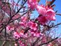 浜崎川の寒緋桜