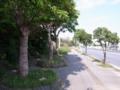 チンマーサーっぽい街路樹