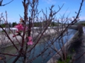 浜崎川の桜