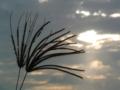 アフリカヒゲシバ