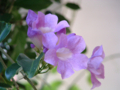 [紫]ニンニクカズラ