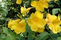 [黄]黄色い花