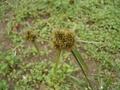 カヤツリグサ科の植物