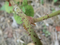 ホウロクイチゴ