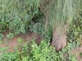 トクサバモクマオウ