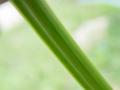 [白][黄]シロノセンダングサ