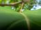 オオバナサルスベリ