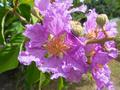 [紫][桃]オオバナサルスベリ