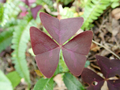 [桃]Oxalis triangularis