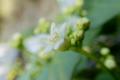 [つる][白]クロミノオキナワスズメウリ