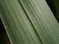 シュロガヤツリ