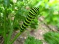 黄アゲハ(幼虫)