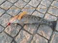 アイナメ(35cm)