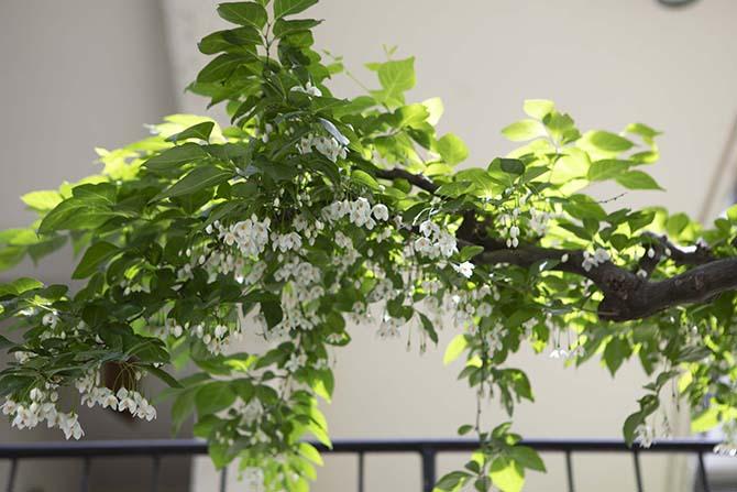 白い花をつけたエゴノキ
