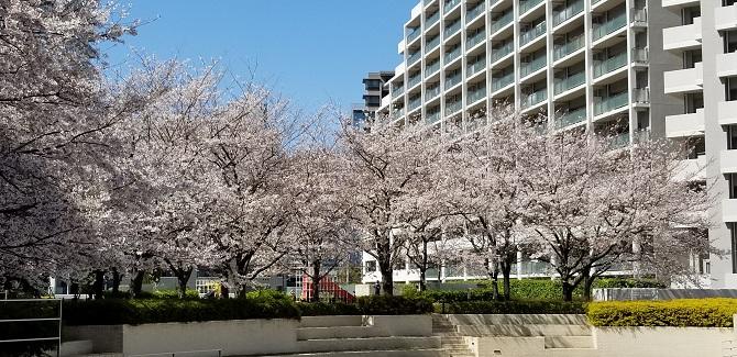 東京サーハウス内の桜の木