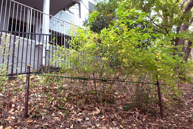 ヒルサイド久末の植栽保護活動の一環