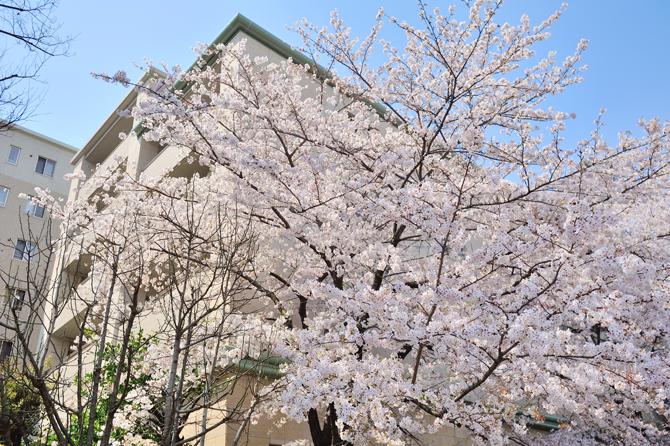 桜とプラウド駒込