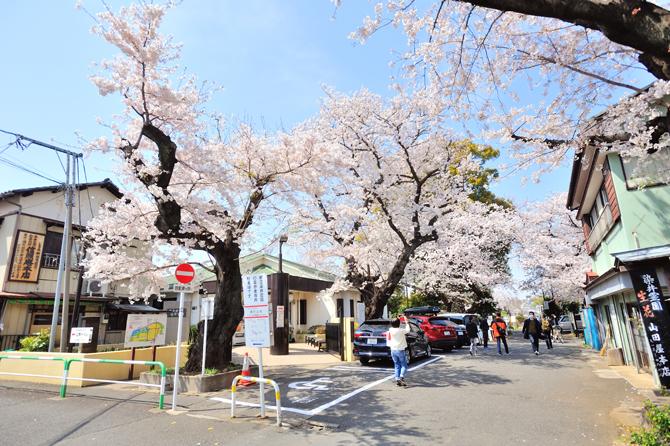 「染井霊園」の桜の写真