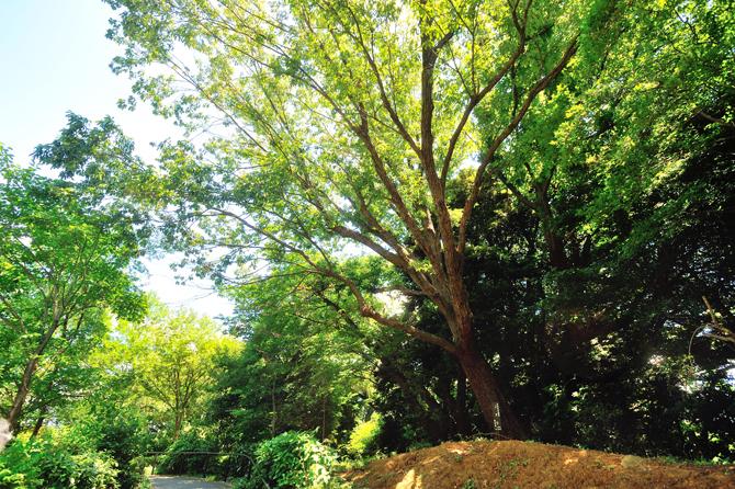 ブリリアシティ横浜磯子敷地内の「名木古木指定」を受けたコナラ