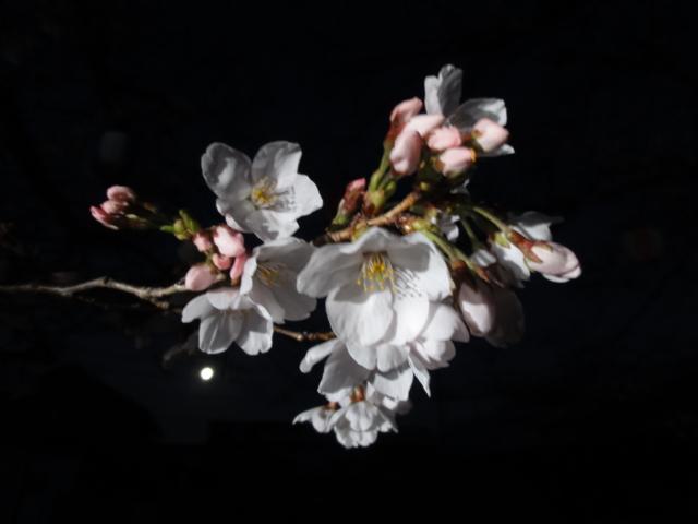 やっと咲き始めた桜