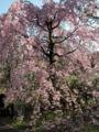 [桜]何とも言えないゴージャスな枝垂れ桜です。どこで撮ったのか覚えてい