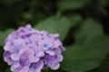 [ULTRON 40mm F2][花]ULTRONで試し撮り接写