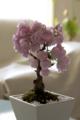自宅の桜盆栽