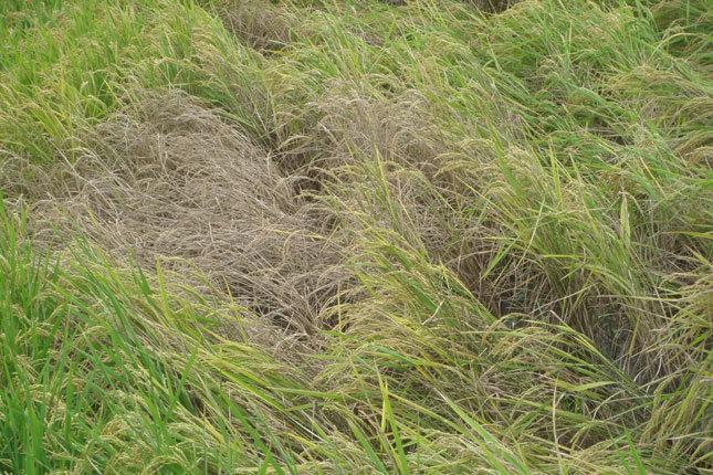 風で倒れた稲