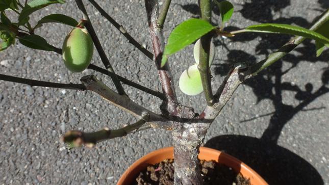 梅に実がなりました