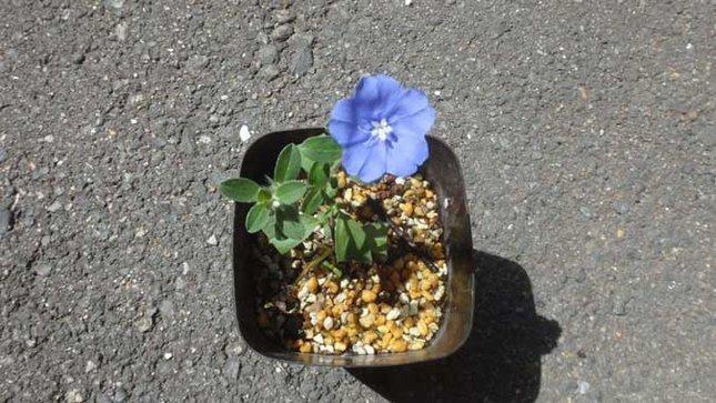 アメリカンブルー 挿し芽
