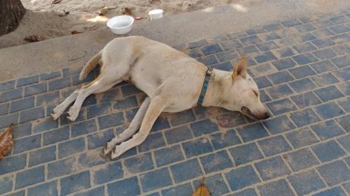 タイの犬画像