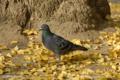 [野鳥] ハト 2008-12-03撮影