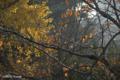 [街] 銀杏と桜 2008-12-04撮影