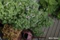 [ゼラニウム][植物]ナツメグ・ゼラニウム 2009/03/05