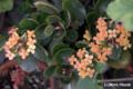 [植物]カランコエ 2009/03/05
