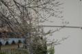 [桜] 2009/03/19