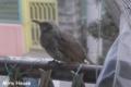 [野鳥] ヒヨドリ