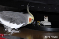 [オカメインコ] フクロウとベリー  2008/08/16