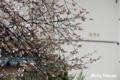 [桜] 2009/03/22