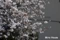 [桜] 2009/03/24