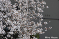 [桜] 2009/03/26