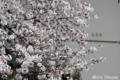 [桜] 2009/03/27