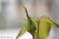 [ベランダ][植物]グラハム・トーマスの蕾