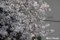 [桜] 2009/03/30