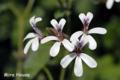 [ゼラニウム][植物]ナツメグ・ゼラニウムの花